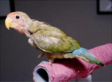 A peach-faced lovebird exhibiting advanced clinical signs of feather loss and color changes due to Psittacine Beak and Feather Disease (PBFD).