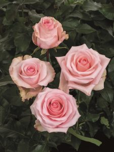 arleene роза