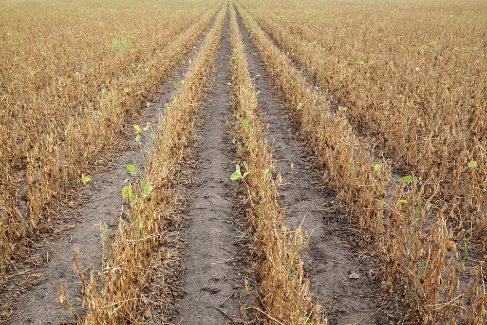 Se a influência do La Niña persistir até a primavera, o plantio de soja da safra 21/22 pode ser prejudicado pela estiagem. (Fonte: Shutterstock/sima/Reprodução)