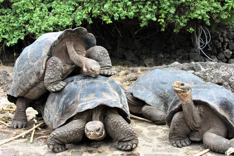 how do tortoises mate
