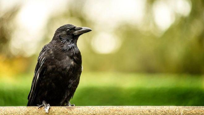 Вороны продемонстрировали, что способны решать сложные многоступенчатые задачи, которые вовсе не встречаются им в обычной жизни