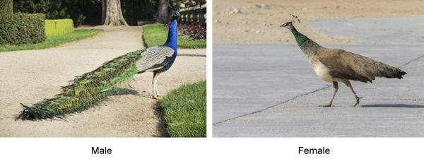 C:\Users\HP\AppData\Local\Microsoft\Windows\INetCache\Content.Word\600-499599137-peacock-in-garden.jpg