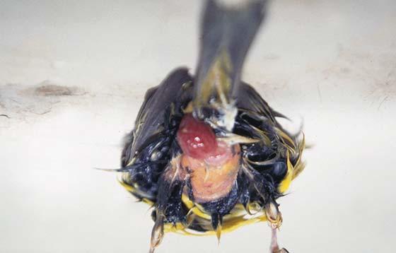 Prolapsed uterus in a finch
