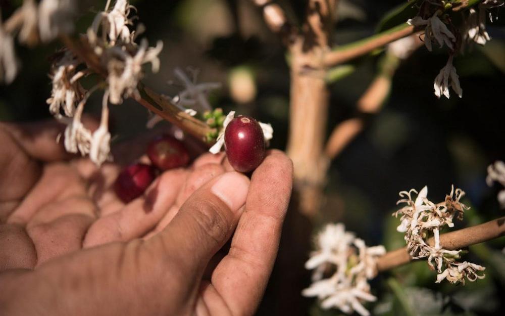 ripe coffee cherry in fingers