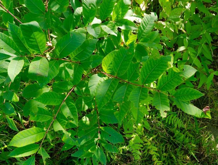 treat poison oak