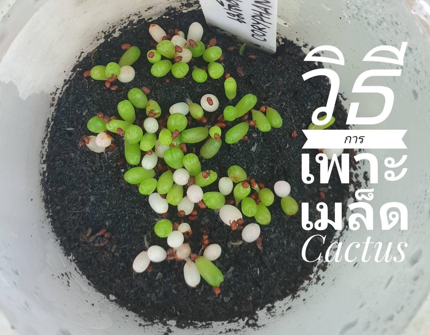 การเพาะเมล็ด Cactus คืออะไร