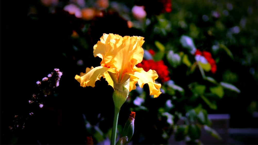 Magic Garden Iris.jpg