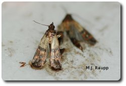 two indian meal moth adults