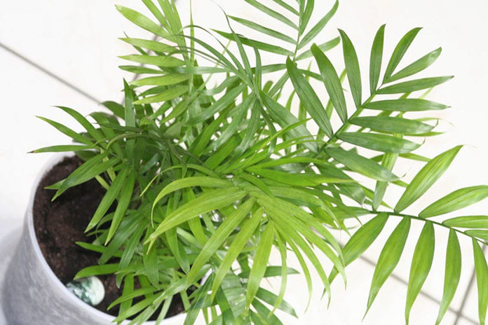 palmera-planta-decorativa-interior-alta