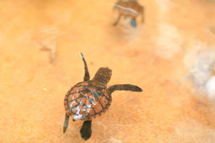 releasing baby turtle