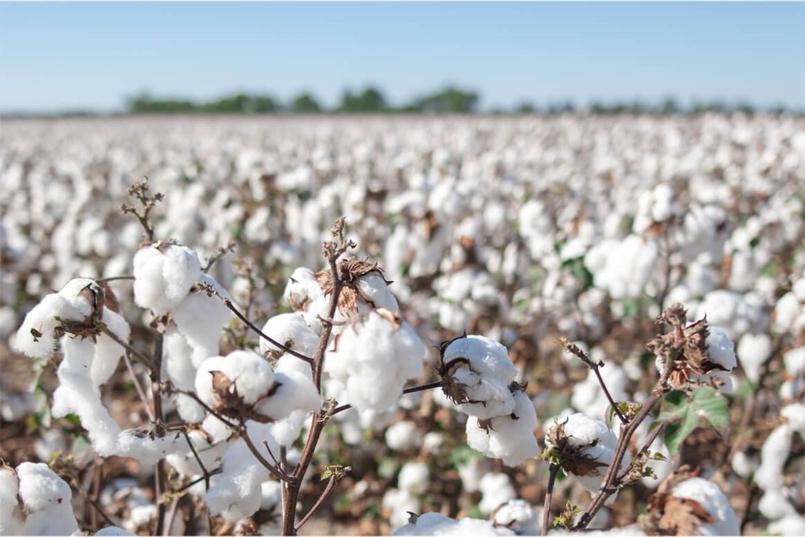 """Aapresid quiere comenzar a certificar el algodón argentino bajo el  protocolo de la """"Better Cotton Initiative"""" » Bichos de Campo"""
