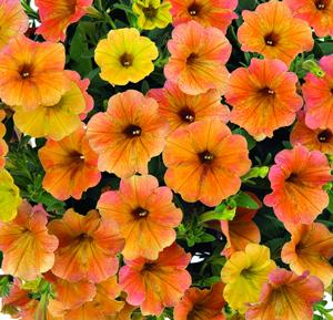 http://www.gardenharvestsupply.com/productcart/pc/catalog/Cascadias_Indian_Summer_M.jpg