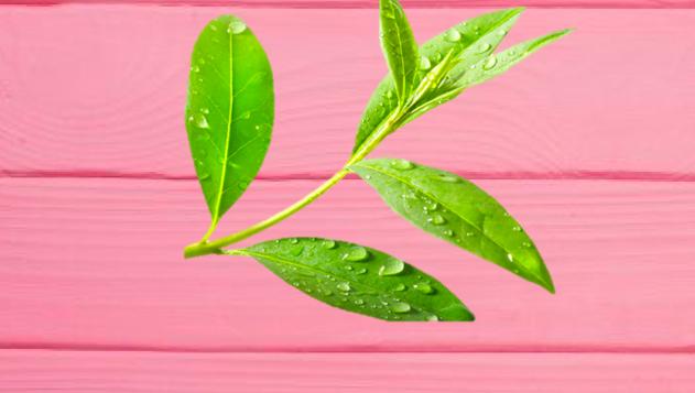 cách chữa hôi miệng dân gian bằng lá trà