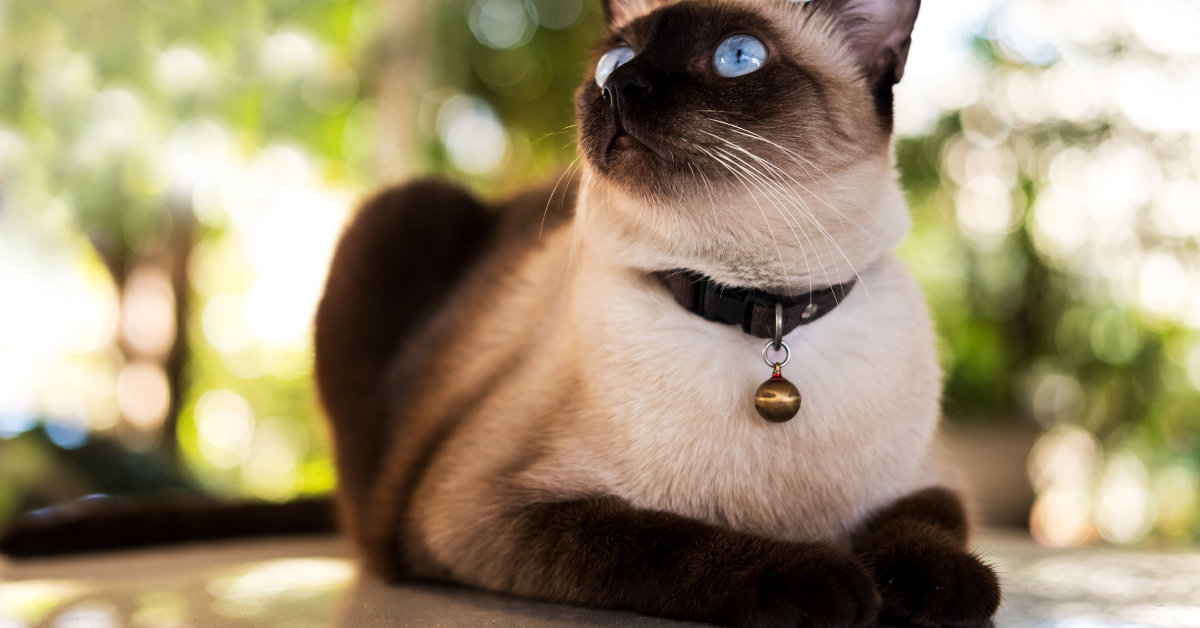 A Siamese cat with distinctive color pointing.