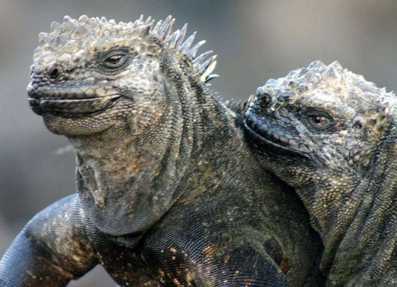 Image result for MARINE IGUANA BREEDING