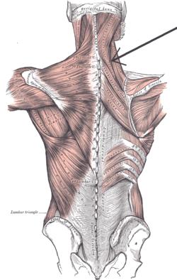 Musculus splenius capitis et cervicis.png