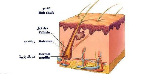 فولیکول مو چیست