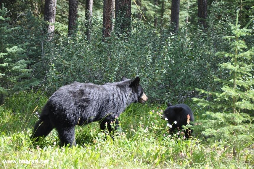 We also spotted a mama bear and her pug on the Bow Valley Parkway!