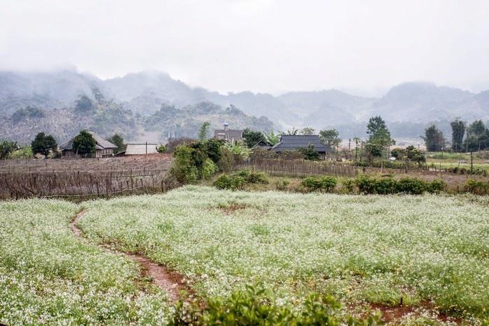 Bản làng Mộc Châu hòa cùng màu cải trắng trong tiết thu