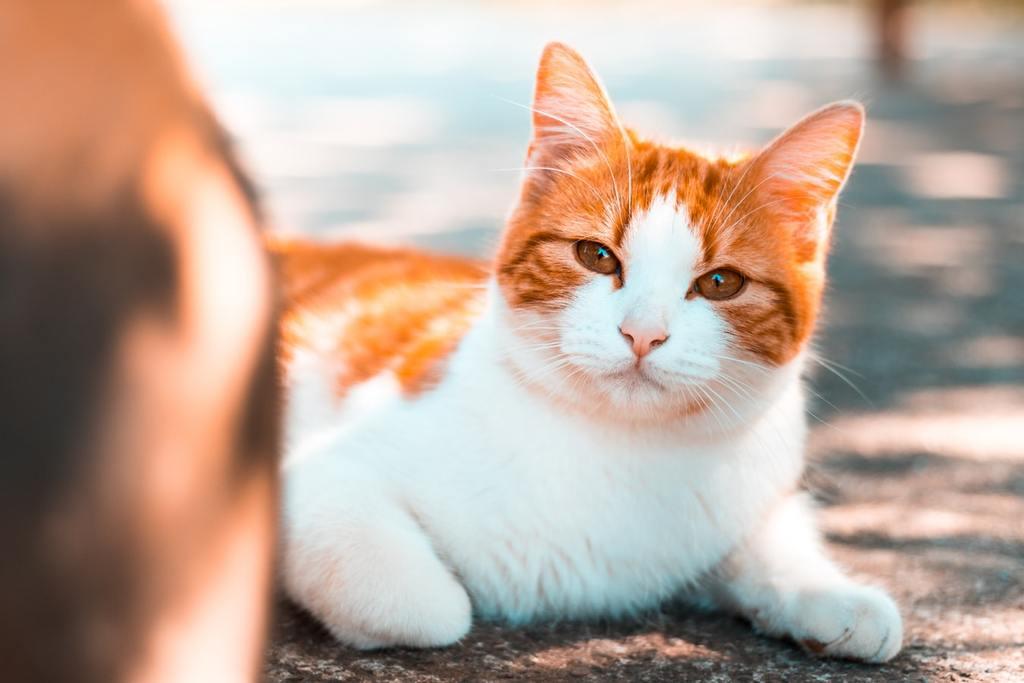 giá mèo cộc đuôi nhật bản