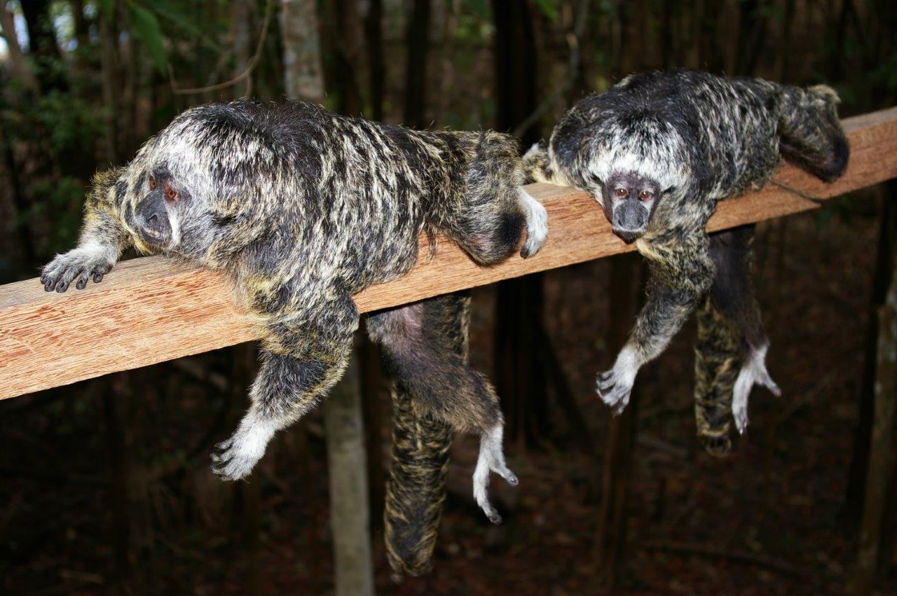 Macacos Parauacu - Saki Monkeys (1).jpg