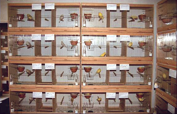 Between every two breeding cages, there is a common baby cage for the youngsters in a canary breeding facility