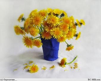Цветы одуванчика.Фото