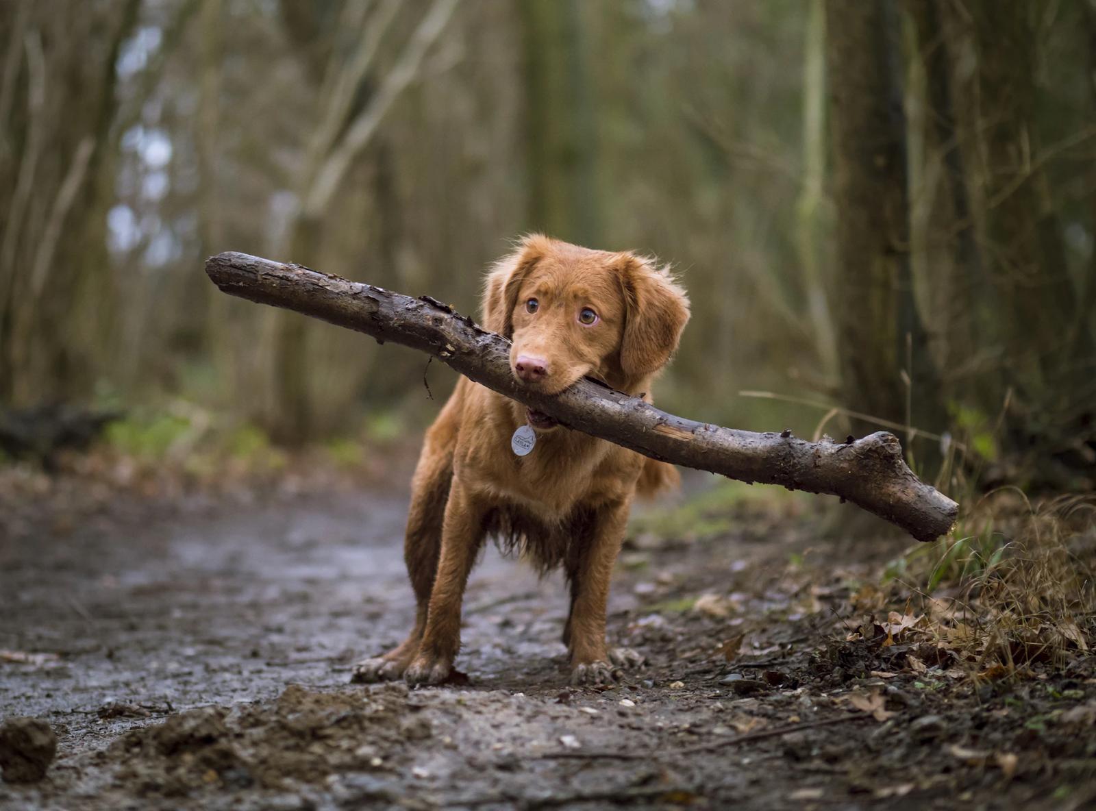 chien avec un énorme morceau de bois