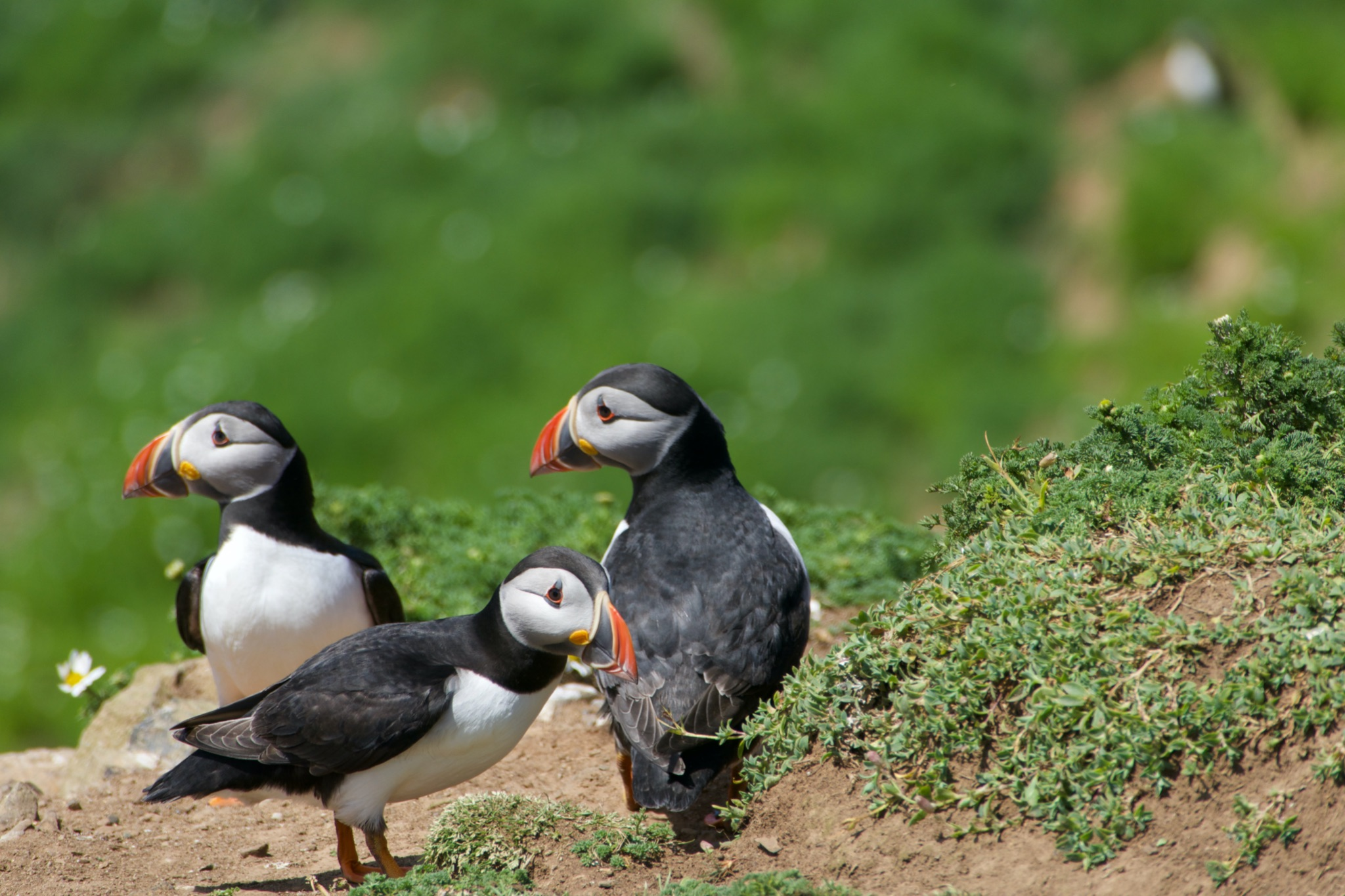 Puffins spotted on Skomer Island