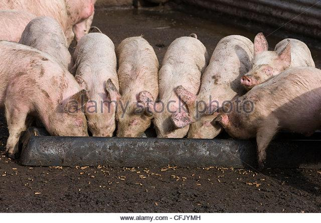 Image result for PIGS AT A TROUGH   PHOTOS