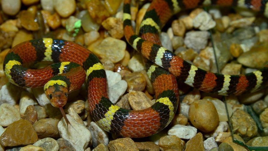 Image result for scarlet kingsnake pet