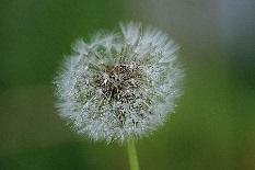pollens d'herbacés