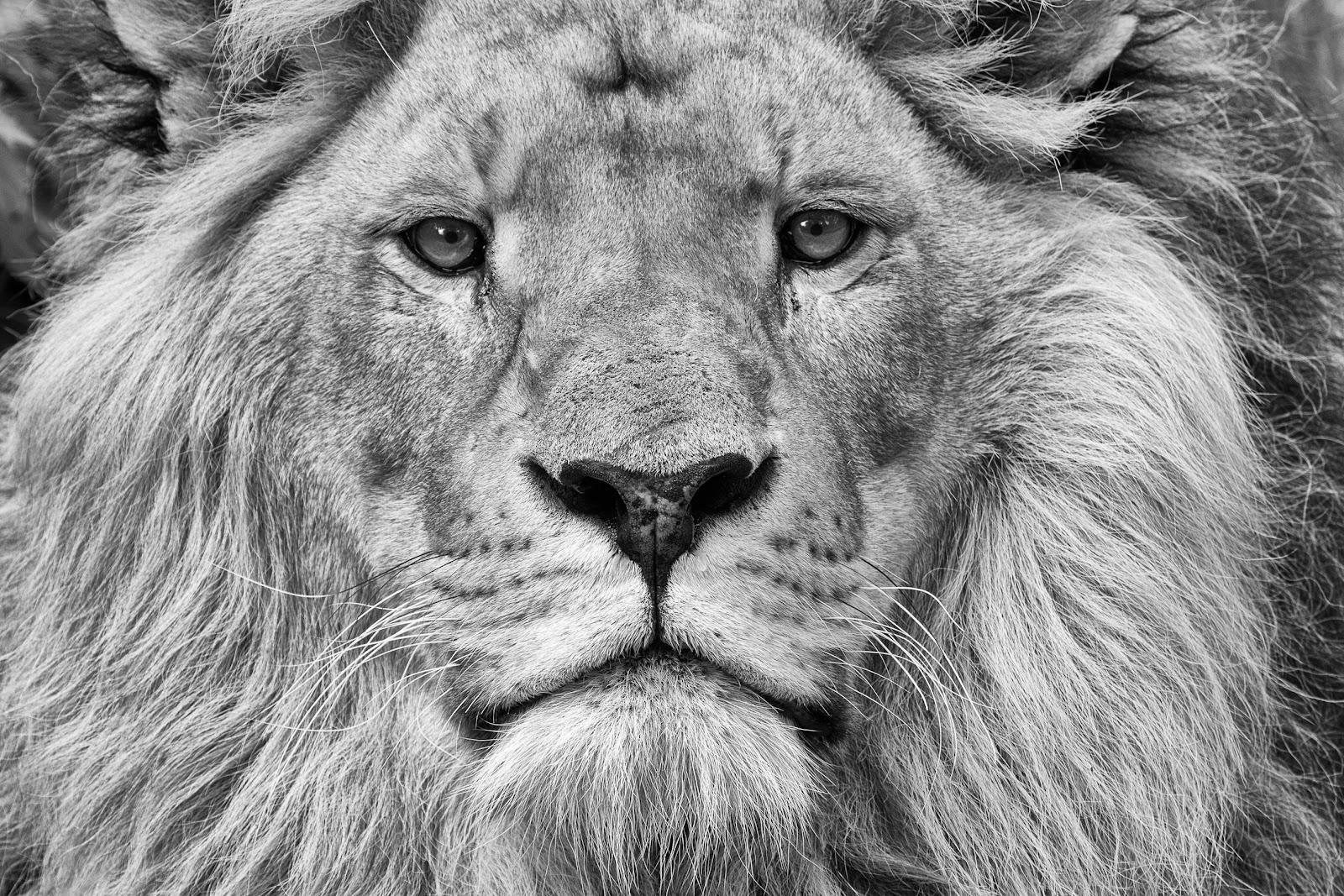 Immagine che contiene grande felino, mammifero, animale, leone  Descrizione generata automaticamente