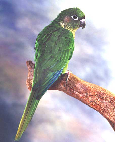 Maroon-bellied conures are smaller and generally more acceptable as a pet than the slightly larger Aratinga species