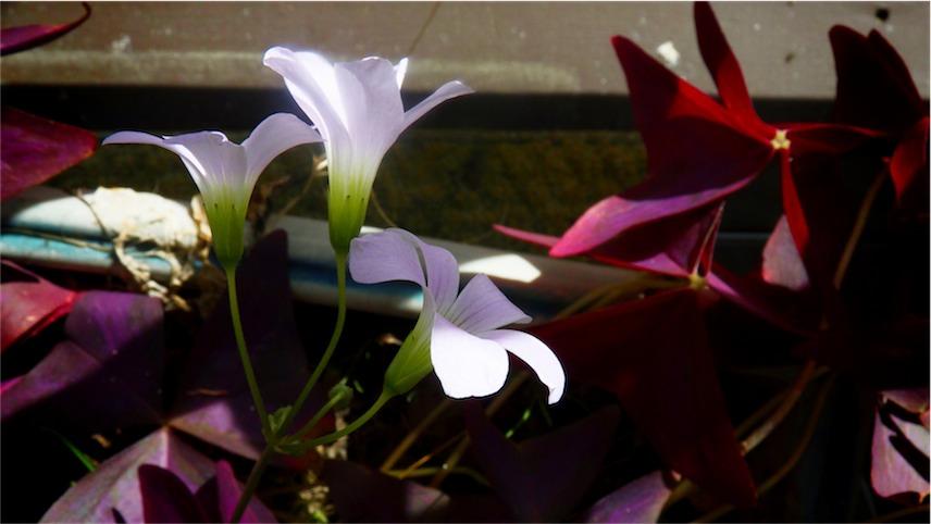 Shamrock Flower Trio.jpg