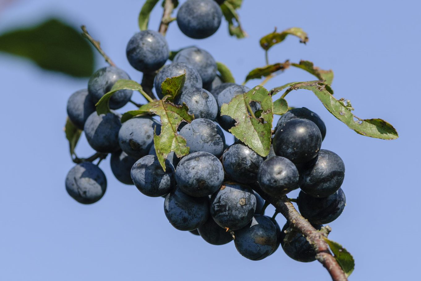 Afbeelding met fruit, druif  Automatisch gegenereerde beschrijving
