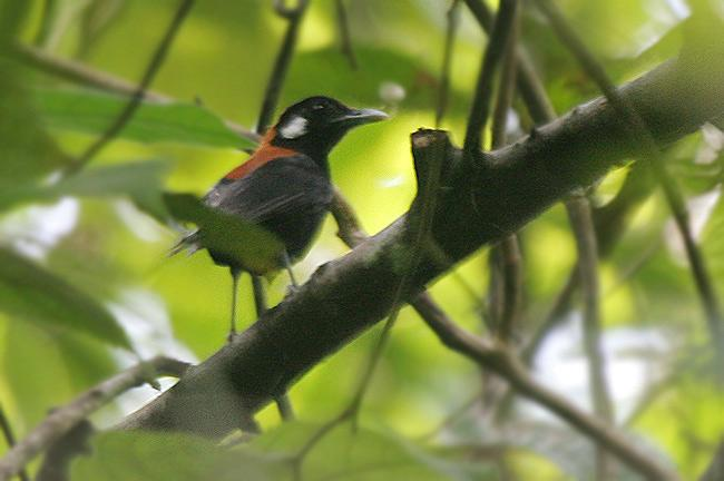 Red-and-black Thrush