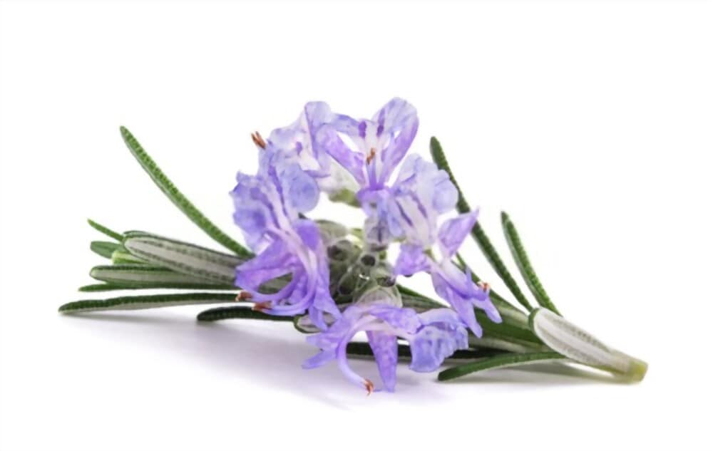 Close view of rosemary leaves and flower