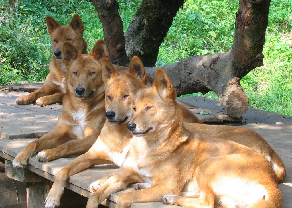 A group of dingoes sitting together