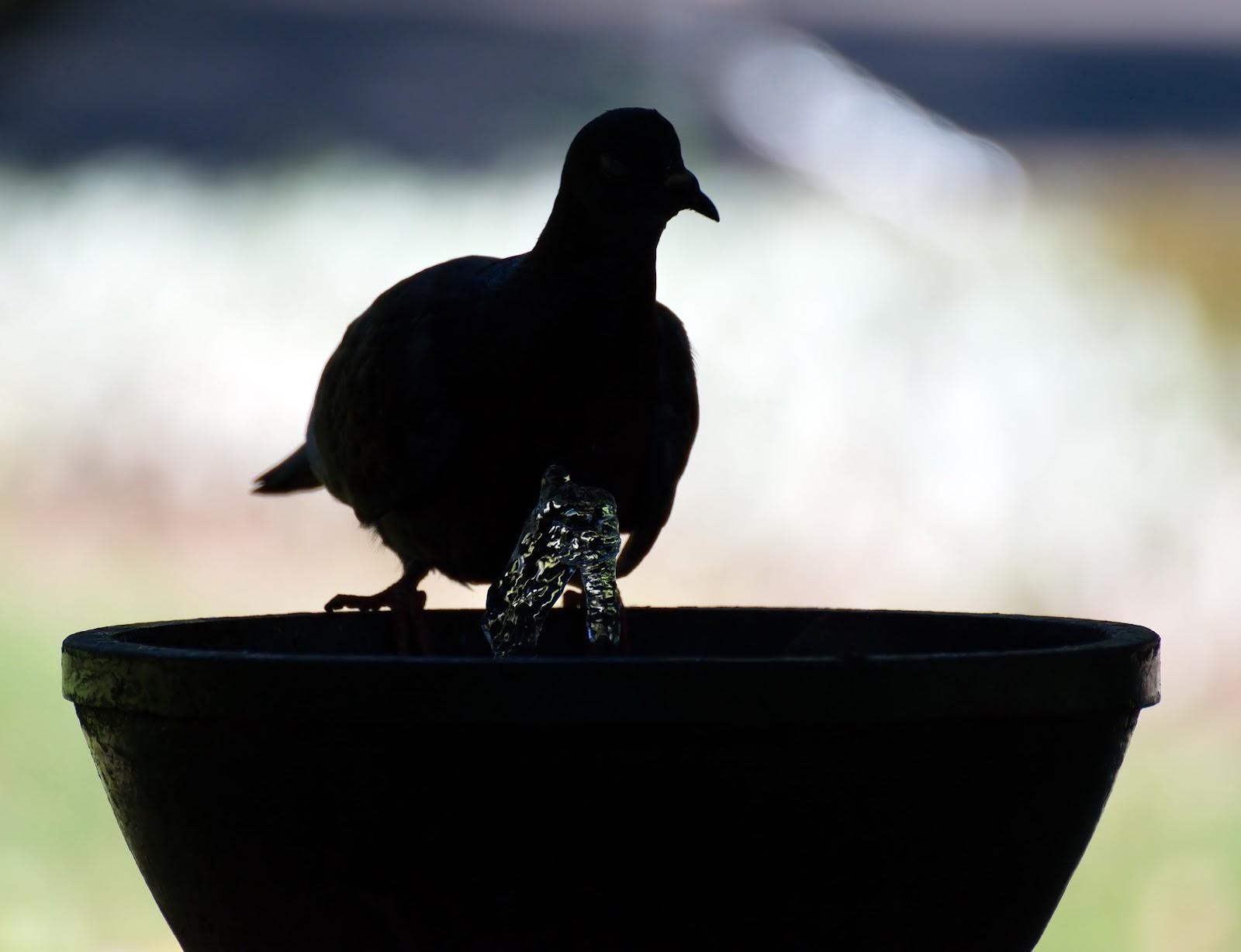 Piccione completamente controluce su fontana