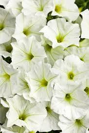 Macintosh HD:Users:sarinavetterli:Desktop:Plant and Granola Sale:Plant Images:Supertunia white.jpg