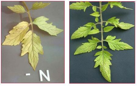 Nitrogen deficiency symptoms in plants.