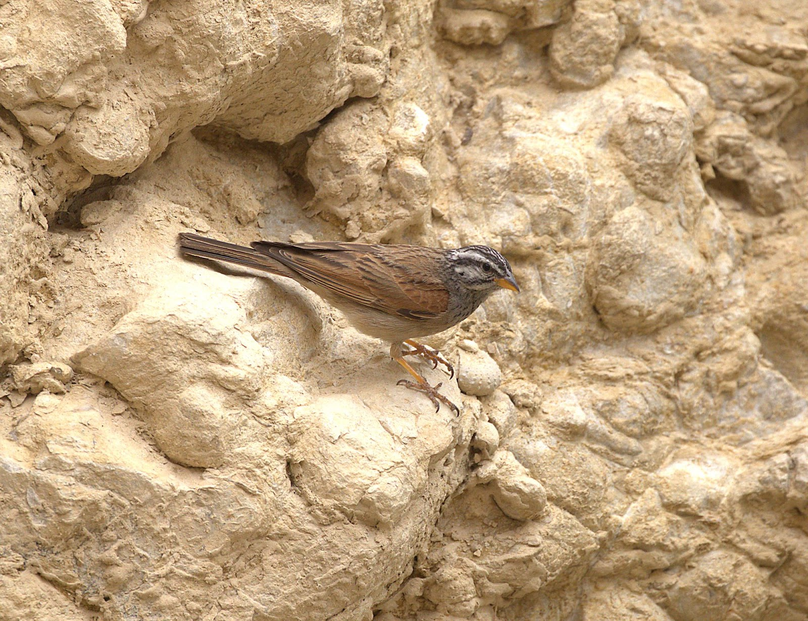 striolated bunting_rsz.jpg