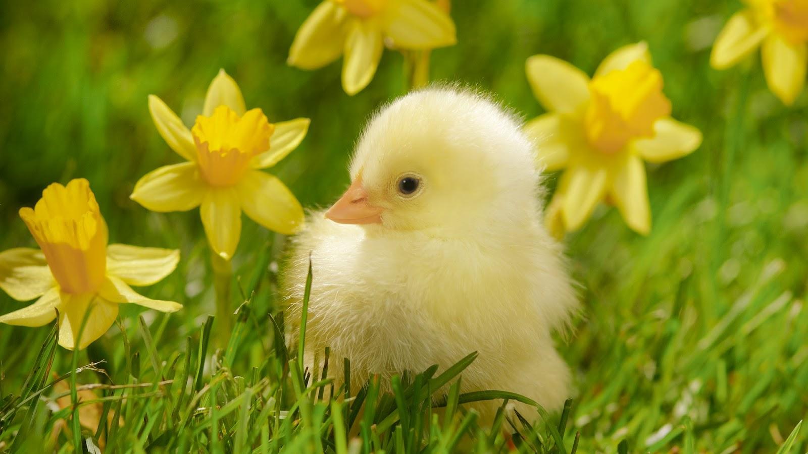spring-chick.jpg