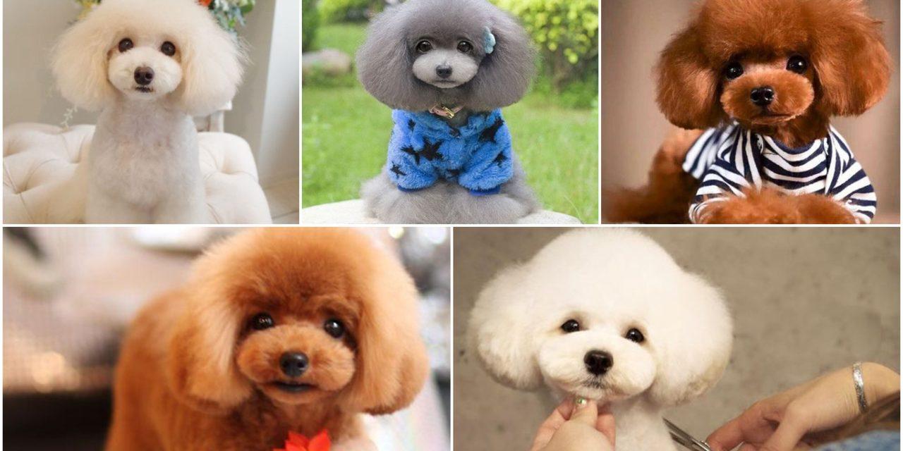 Màu sắc của chó Poodle