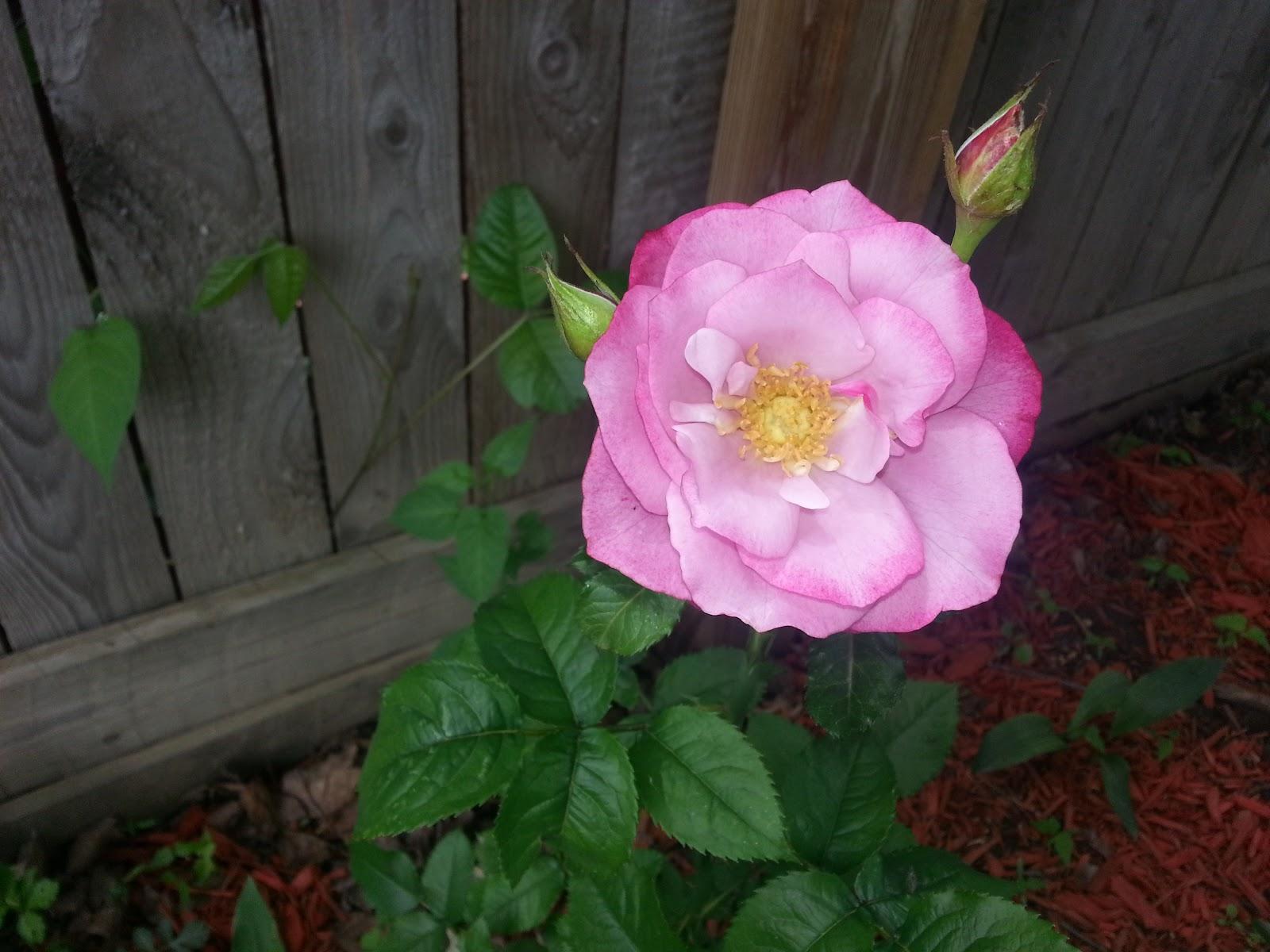 Barbra Streisand hybrid tea rose image