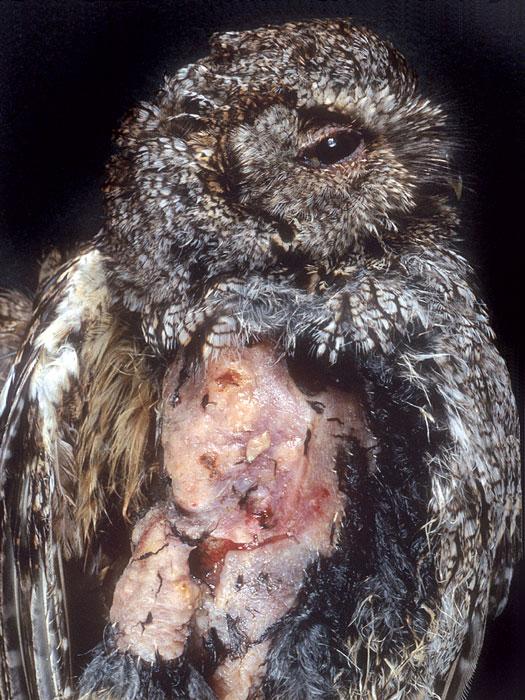 Dermal lymphosarcoma in a western screech owl