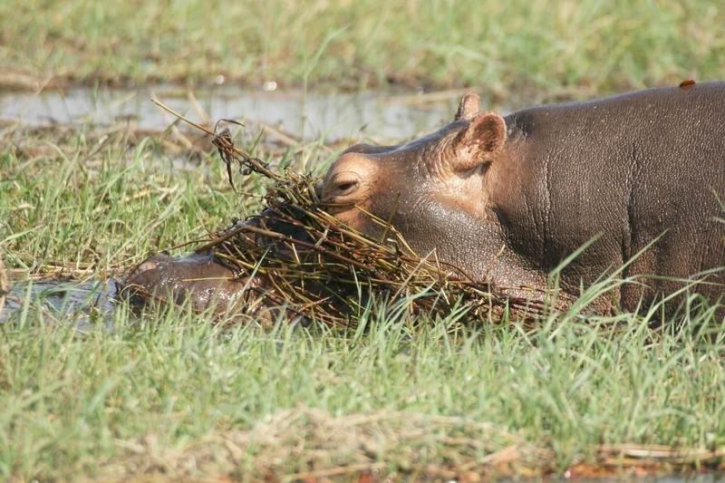 chobe-day-trip-hippo.jpg