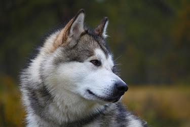 photos :one pictures of husky malamute alaskan dog