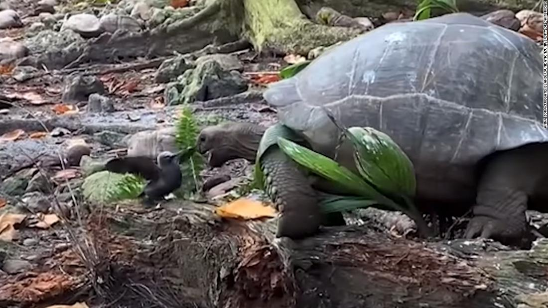 Giant tortoise seen attacking and eating baby bird for first time in the  wild in 'horrifying' incident - CNN